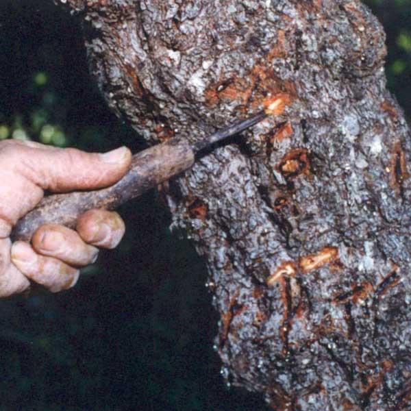 Mastyks wycięty w drzewo