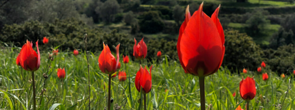 Dzikie tulipany, Chios